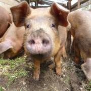 Die Albschweine vom Biosphärengebiet Schwäbischen Alb - Foto: biosphaerengebiet-alb.de