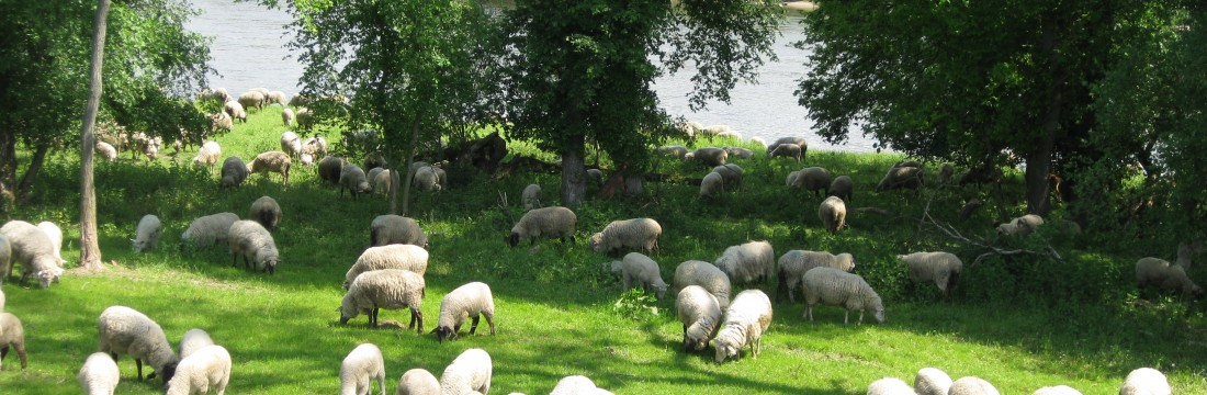 Schafe an der Elbe - Foto: Bernd Eichhorn