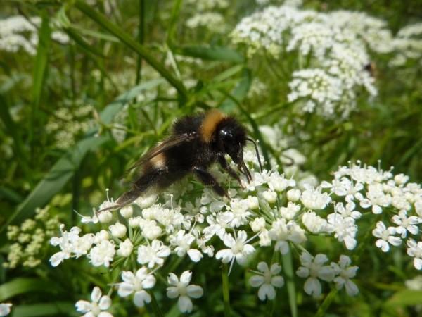 Biosphäre blüht – Für mehr Insektenvielfalt im UNESCO-Biosphärenreservat Schaalsee