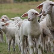 Landschaftspfleger und Lieferanten hochwertigen und leckeren Fleisches: Schafe und Lämmer auf den Wiesen des Pfälzerwalds (Foto: Biosphärenreservat)